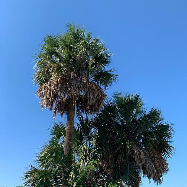 Brownsville Palm Tress  #palmtrees #palm