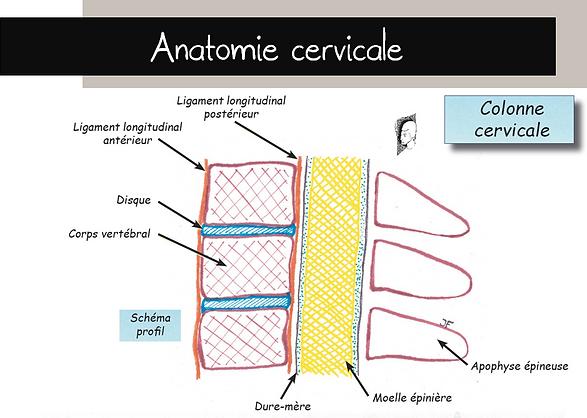 Schéma anatomie cerviale