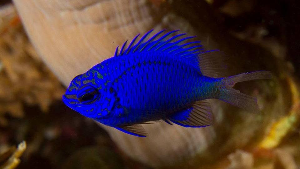 Springeri Blue Damsel