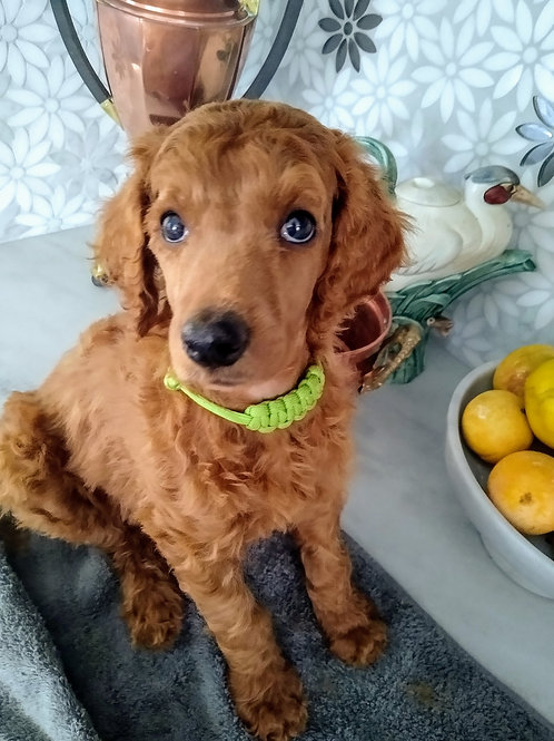 Red Standard Poodle, Male (Green)