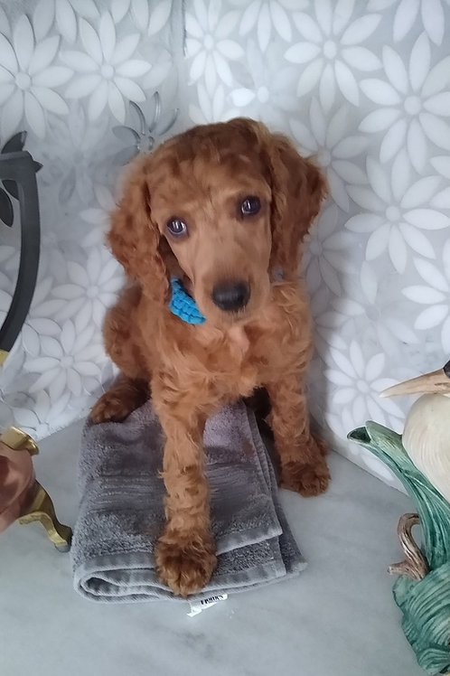 Red Standard Poodle, Male (Blue)