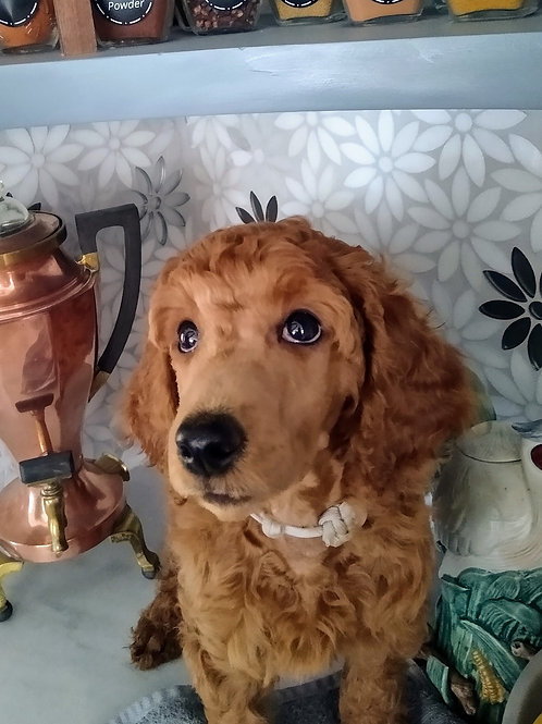 Red Standard Poodle, Female (White)