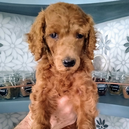 Red Standard Poodle, Male (Red)
