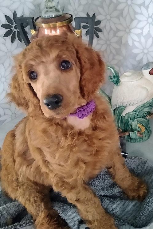 Red Standard Poodle, Female (Purple)