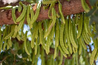 carob-fruits-hanging-from-tree.jpg