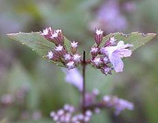 Dittany_flower_buds_10-4-2009.jfif