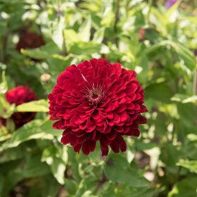 Zinnia rouge