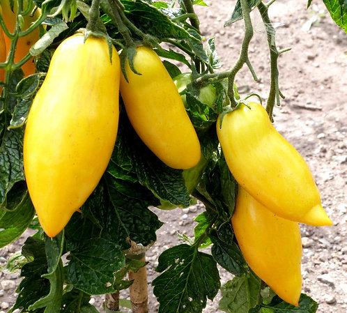 Tomate italienne jaune