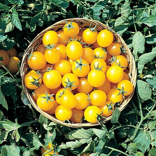 Tomate-cerise jaune