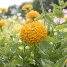 Zinnia jaune