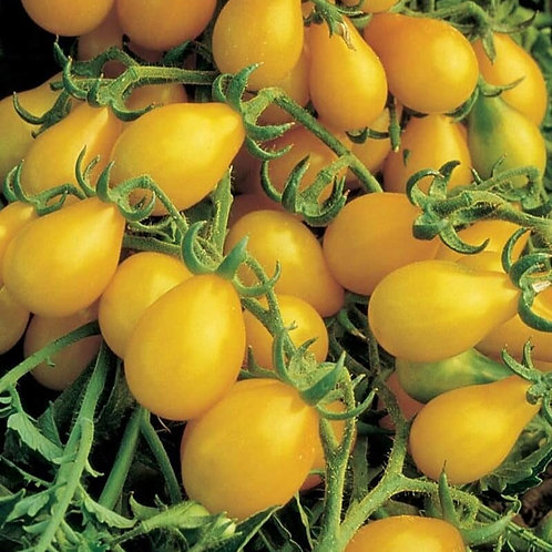 Tomate-cerise poire jaune