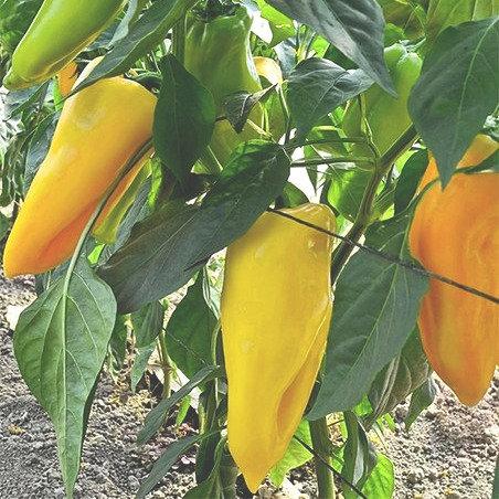 Poivron jaune cornu