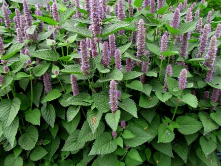 Anise hysope (Agastache)