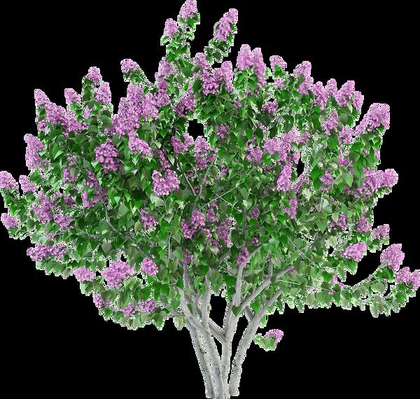 lilacbush.png