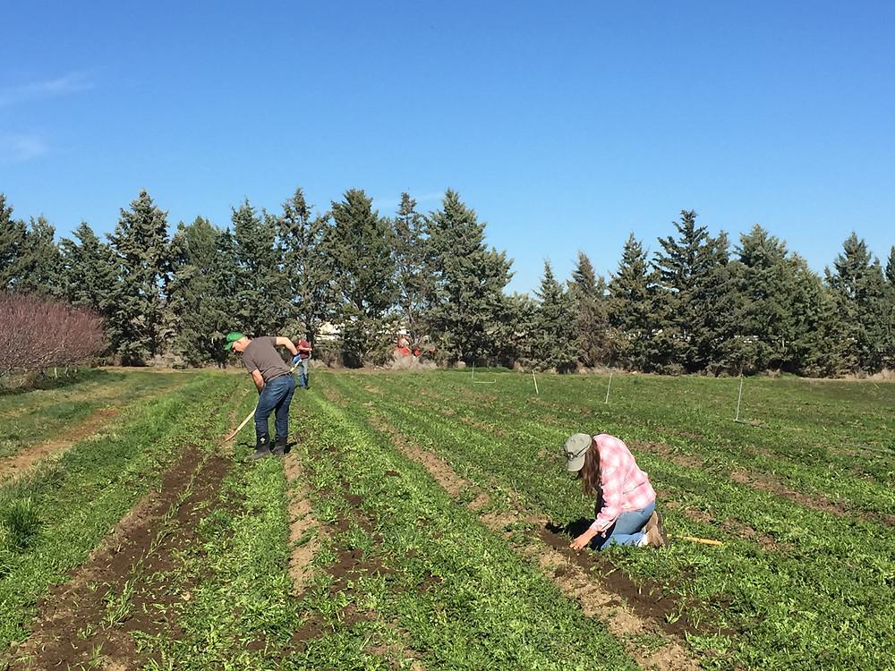 cultivating garlic