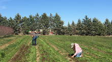 Chopping wood, cultivating garlic, and preparing for the frost