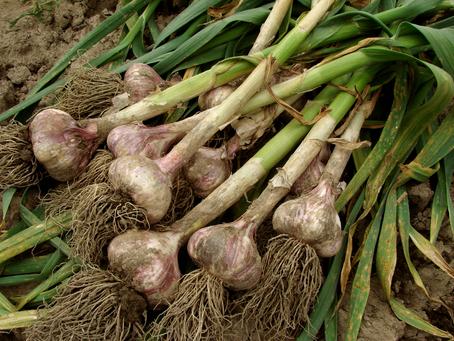 Growing Great Garlic - By Katina Provencal