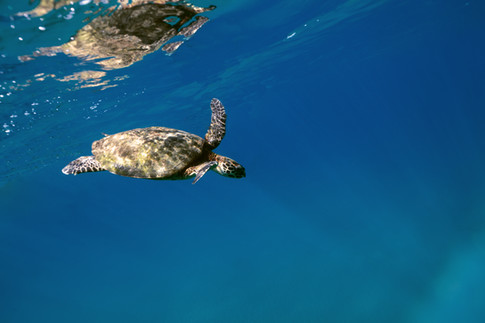 Havskildpadde - Cano Island, Costa Rica