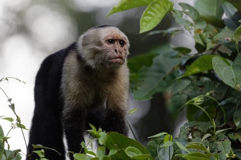Kappuchinerabe - Costa Rica