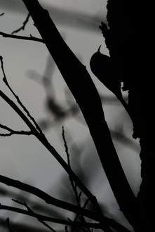 Træløber - Hundsemyre, Bornholm