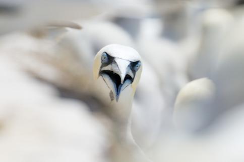 Sule - Helgoland