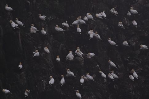 Suler - Mykines, Færøerne