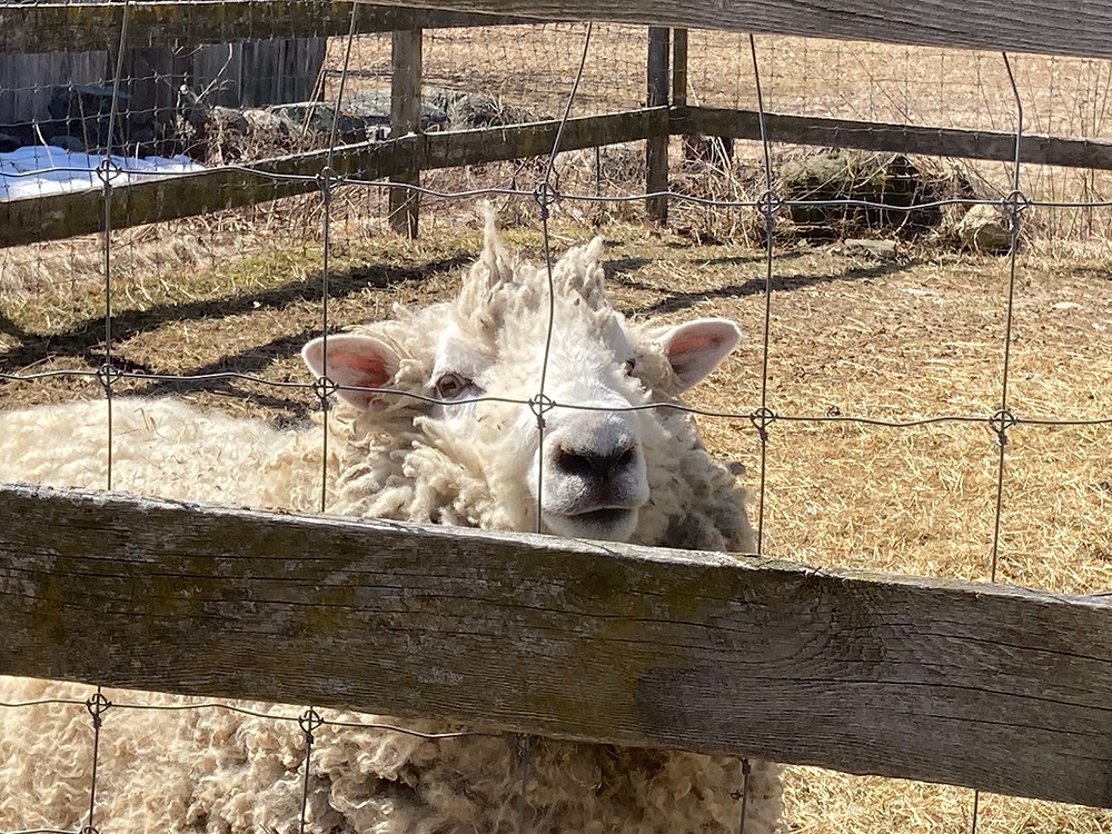 image of male sheep