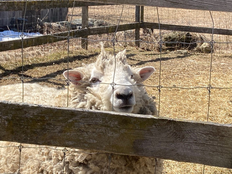 Notes from a Shearing in rural NH