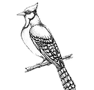 old%20style%20bluejay_edited.png