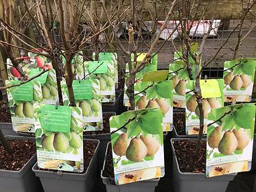 pear trees.jpg