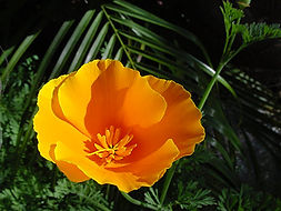 CaliforniaPoppy