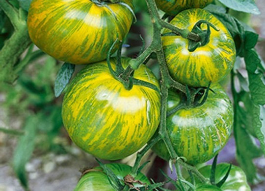Tomate moyenne verte striée jaune