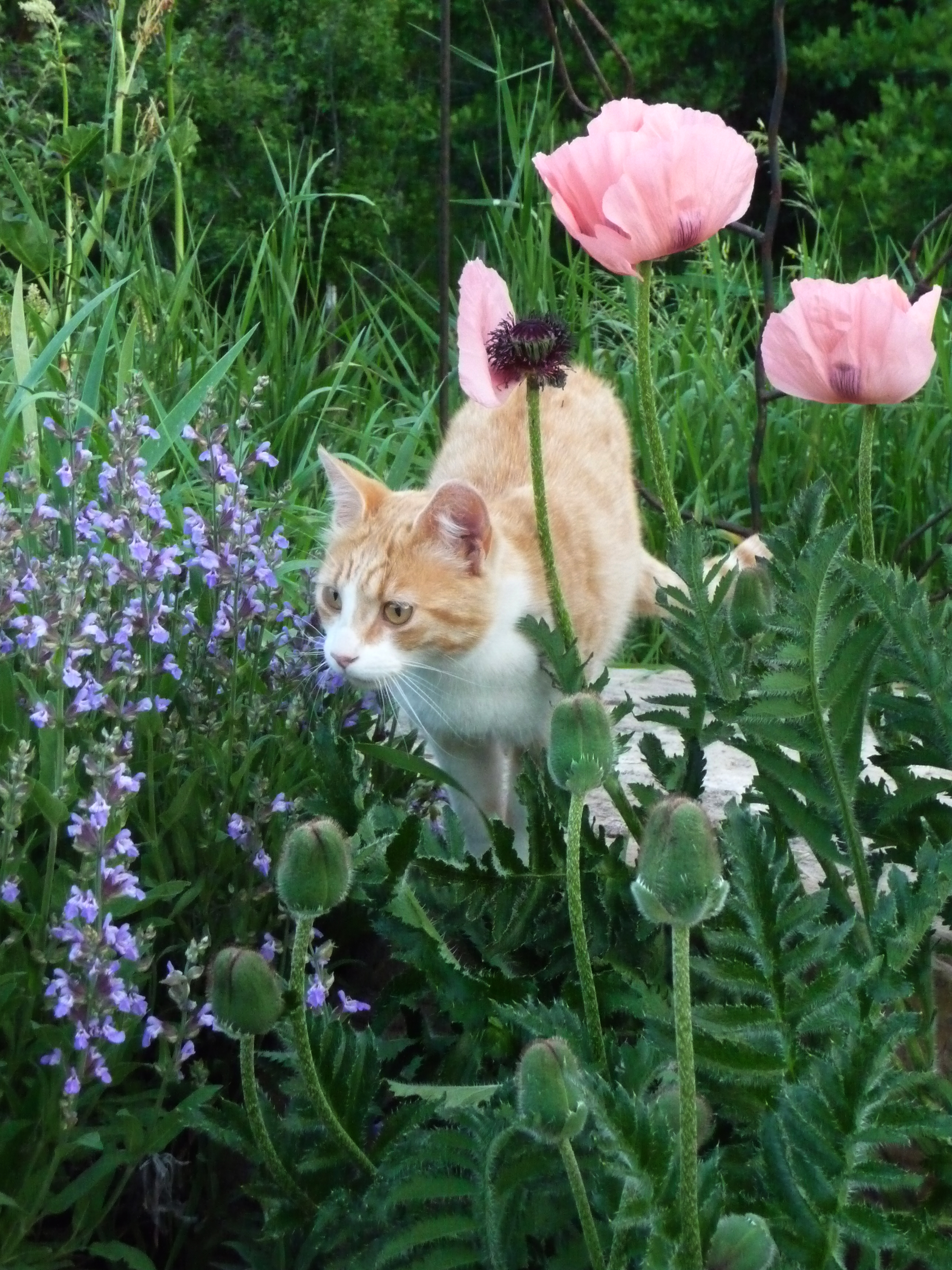 kitty in poppies