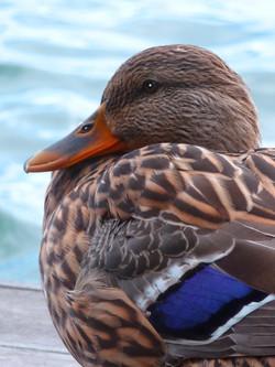 Handsome Duck