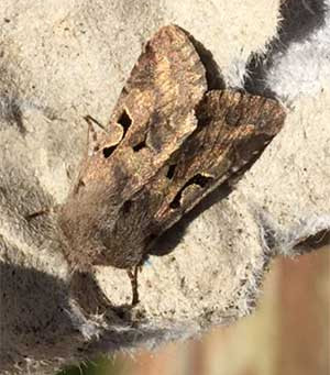 Moths in Churchyards