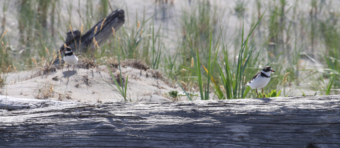 Plovers in a dangerous time