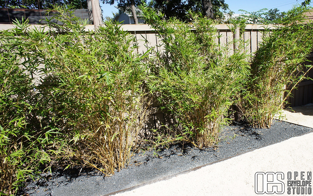 OES | Waltrip Residence - Alphonse Karr clumping bamboo in modern landscape design build