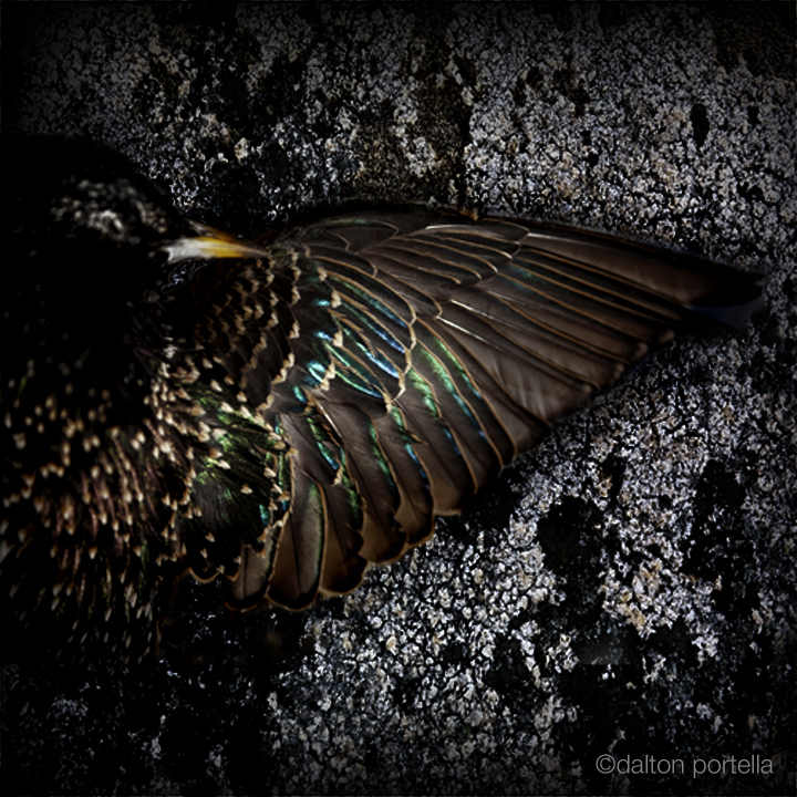 Starling Wing