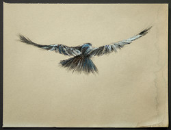 Study of a Crow 5