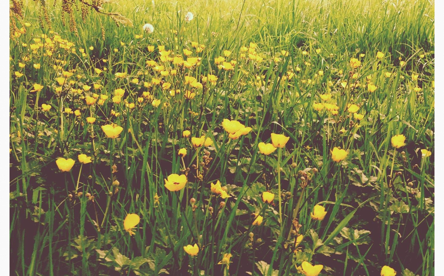 Buttercups in Summer