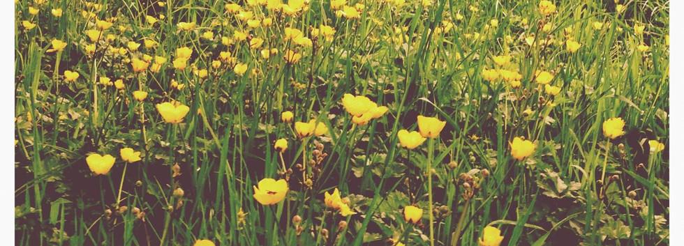 Buttercups in Summer