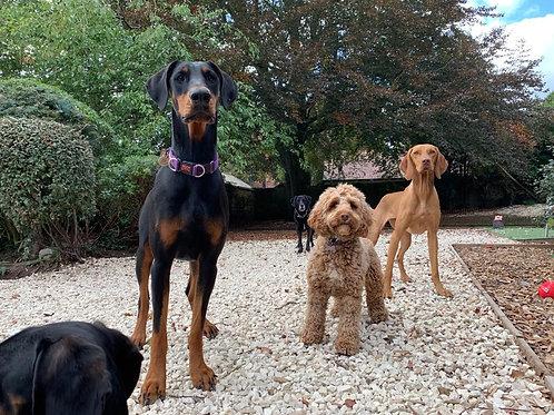 Gold Dog Training Plan