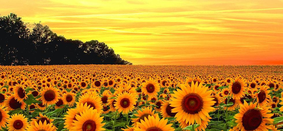 2 sunflowers.jpg
