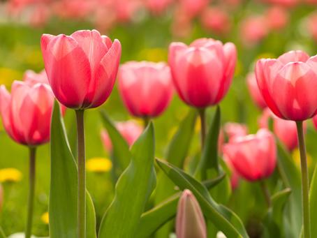 Resistente Aspergillus-schimmels in bloembollenpakketten
