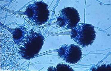 Strenge regels voor gebruik azolen in bollenteelt
