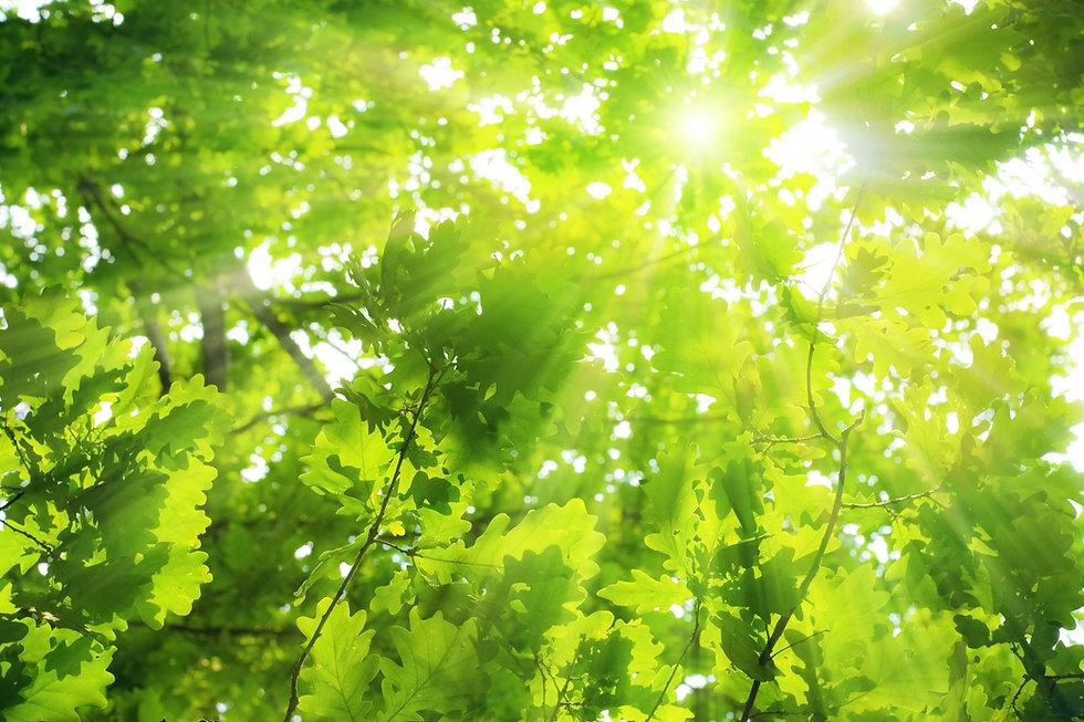 Green oak leaves, bright sun.jpg