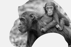 Ngogo Chimpanzee Project
