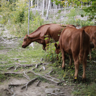We met cows during our forest walk and product photoshoot.