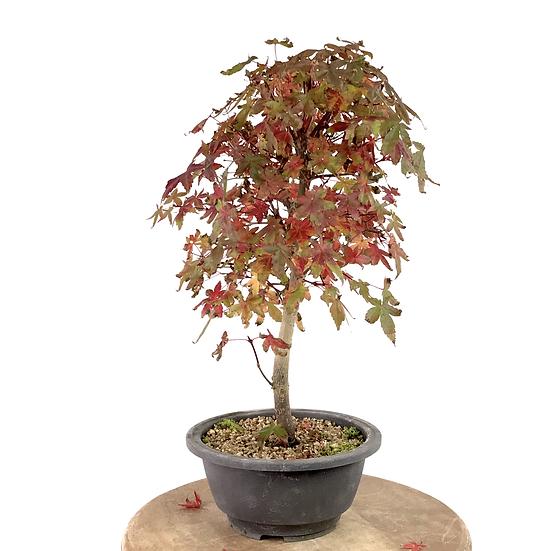 ERABLE rouge du Japon 'deshojo' 10-11 ans 37 cm de hauteur  R.101