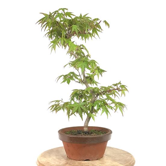 ERABLE Japonais Acer P. Yamamomijii de +14 ans 41 cm de hauteur   A20